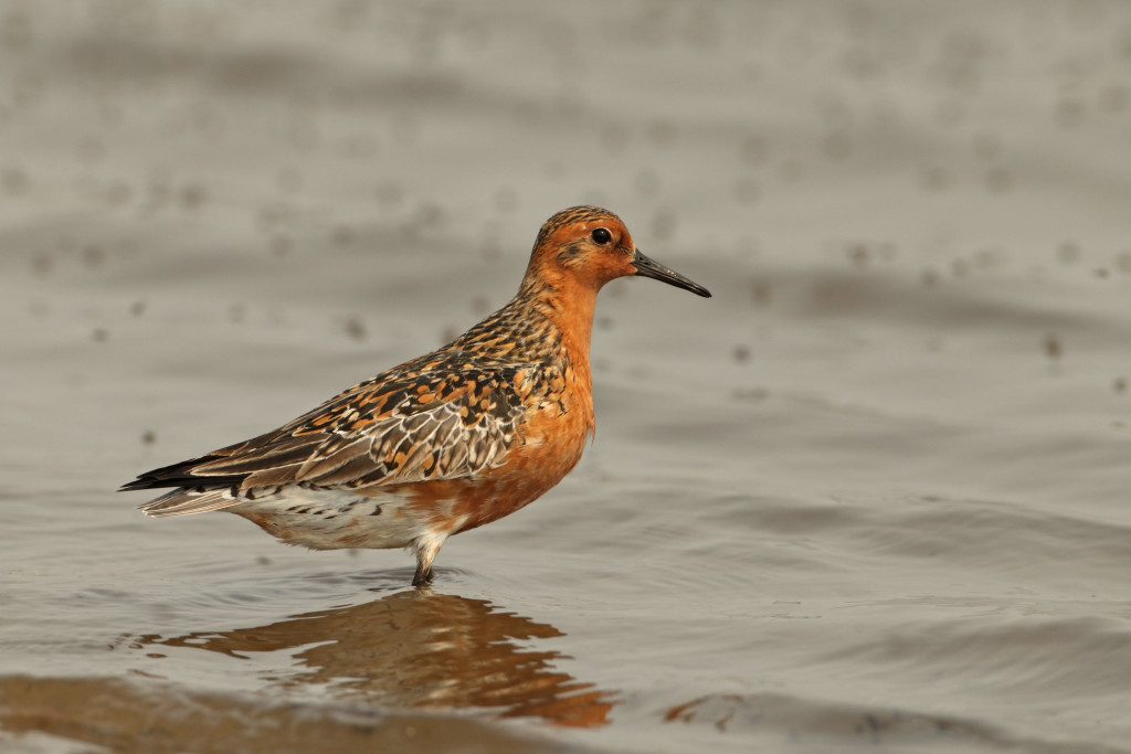 Red Knot by Adrian Boyle