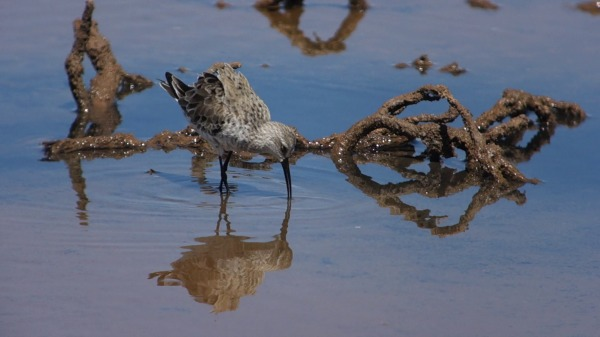 Curlew_Sandpiper_resized